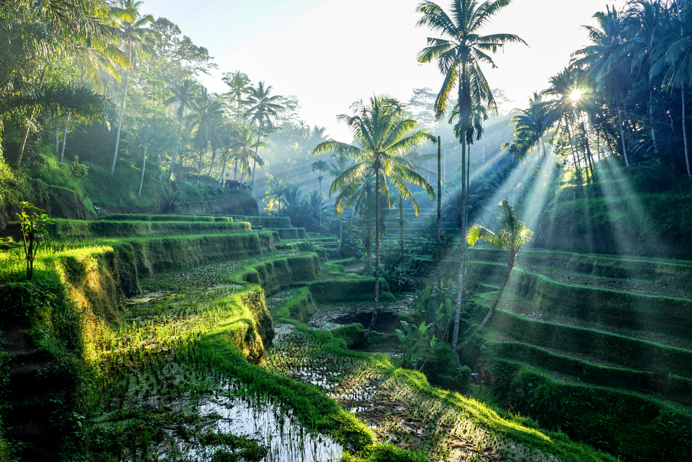 Ubud's rice fields are one of the area's most recognized sites
